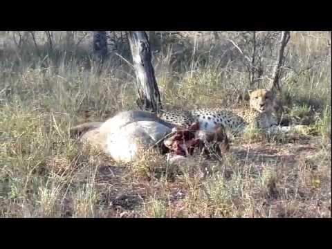 ghepardi in Sud Africa