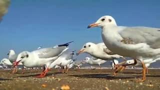 Beautiful Birds-Sea Gull