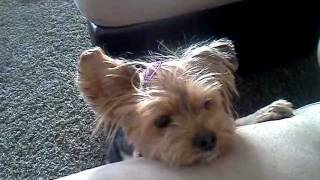 Dog (yorkie) actually speaking prayer and says Amen!