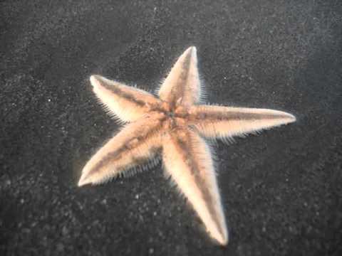 Star Fish at Cox's Bazar Sea Beach