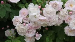 La Rosa de Pitimini, planta del mes de Mayo en la Alhambra