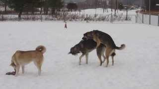 Female Dominance Between Dogs