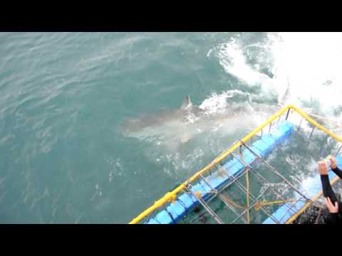 Sharkattack 1 on cage in Gansbaai South Africa