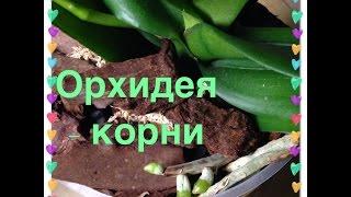 Орхидеи - корни