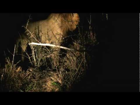 Galen and Daniel Hu spotted two lions taunting a leopard in Kruger NP South Africa.MOV
