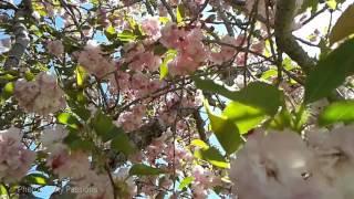 SPRING DUET: Birds Duet Among Cherry Blossoms, Soothing Bird Sounds