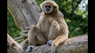Mundo Animal, Macaco Gibão.