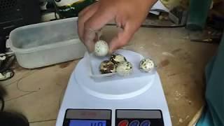 Efeito da ração feito por min  ovos gigantes de codornas japonesas