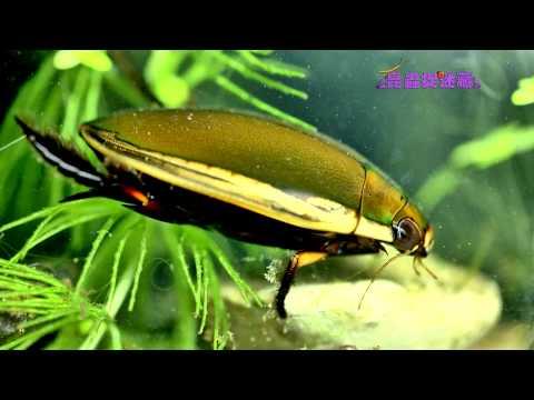 《昆蟲捉迷藏》能潛善飛的水中蛟龍【水肺潛水員:龍蝨】 - YouTube