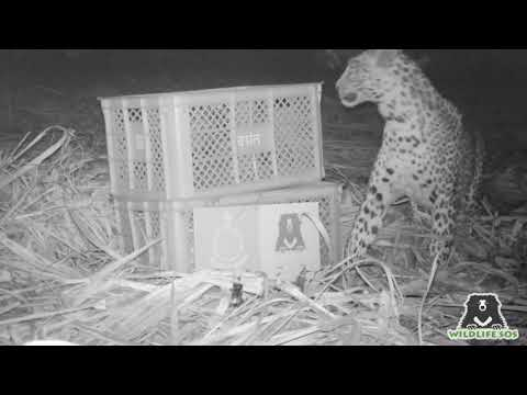 Leopard cub reunited with mother
