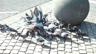 pigeons decending on food