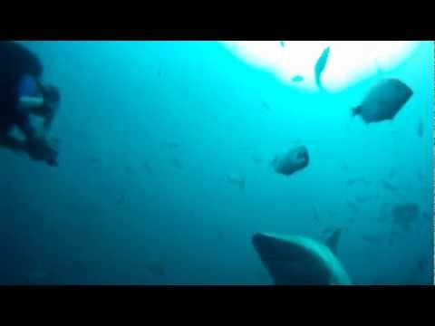 South Africa: Sharks – Sardines – Whales – Dolphins (5 min short version)