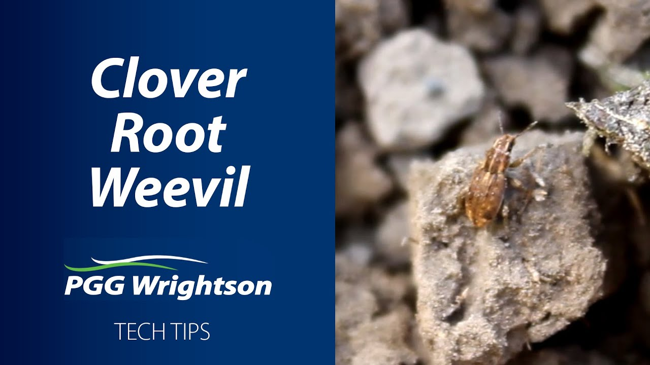 What is Clover Root Weevil?