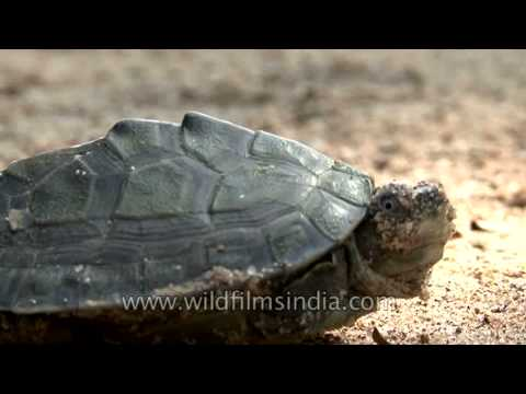 Indian roofed turtle basking under the sun in Crocodile Centre at Deori, Morena