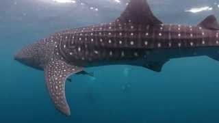Cenderawasih Bay - Diving with Whale Sharks