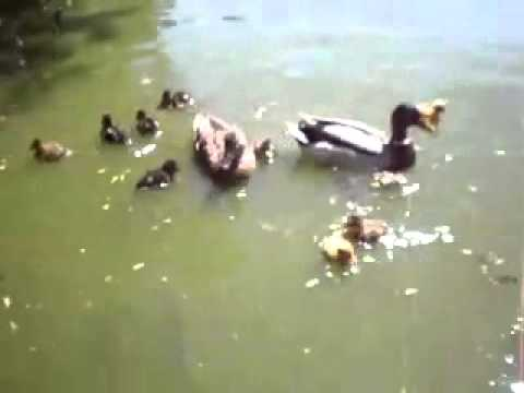 FISH EATS DUCKLING