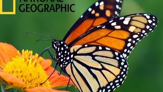 The Butterfly Migration- National Geographic Documentary Clip