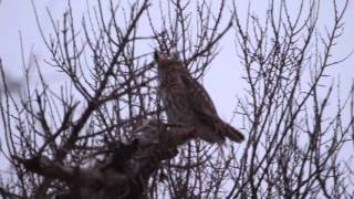Great Horned Owls stretching, hooting and mating, Forest Park, St. Louis, MO, January 21, 2015