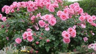 Trio Guadiana e Quim Barreiros - Que inveja tens tu da rosa