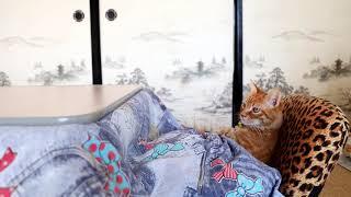こたつで座椅子 Cat and kotatsu 2018#5