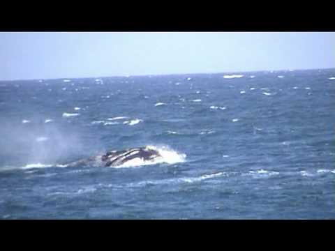 Hermanus, South Africa. The Southern Right Whales.