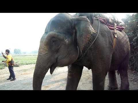 Chitwan-可以餵象跟大象合照