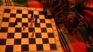 Котка шахматист