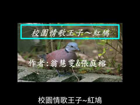 校園生態筆記~紅鳩