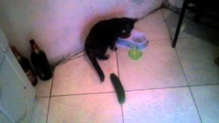 Mi gato no le da miedo el pepino