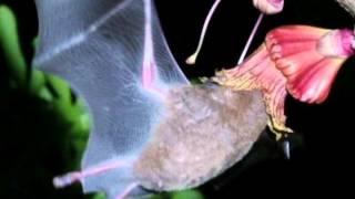 Morcego beija-flor é um dos responsáveis pela polinização