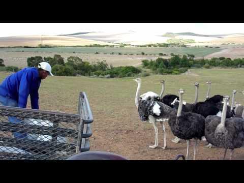 Straußenfarm Südafrika – Ostrich Farm South Africa Skeiding
