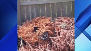 Den of snakes slithers out of tree in Oviedo