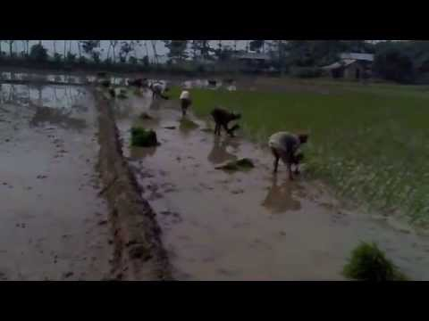 BALISREE . Rice Cultivation