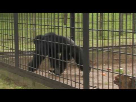 Chimp throws sand at a Gorilla (Camera man) – South Africa Travel Channel 24