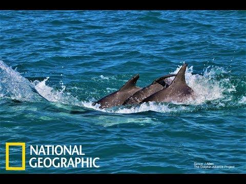 為了鞏固兄弟情,雄性海豚們會彼此「牽手」《國家地理》雜誌 - YouTube