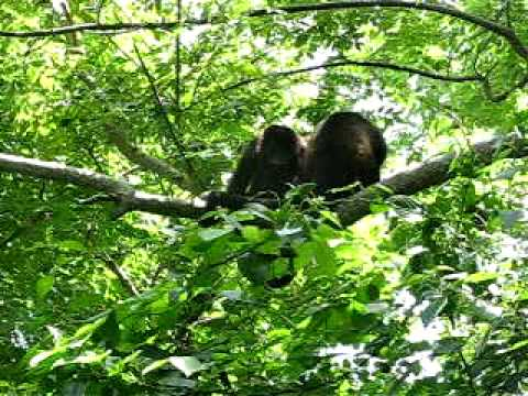 Big Monkey on Branch Another Enters Low Res Video