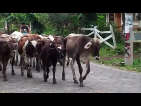Cows Walk Past The Hotel in Ometeme, Nicaragua