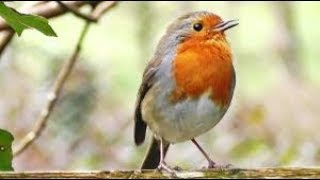 Birds SMS - Ringtone
