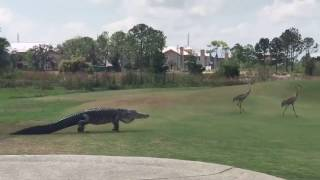 Alligator Slowly Stalks Two Cranes Across Florida Golf Course