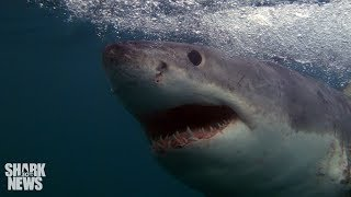 Something Is Killing Young Great Whites In Southern California | Shark News