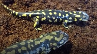 Salamander Care and Feeding
