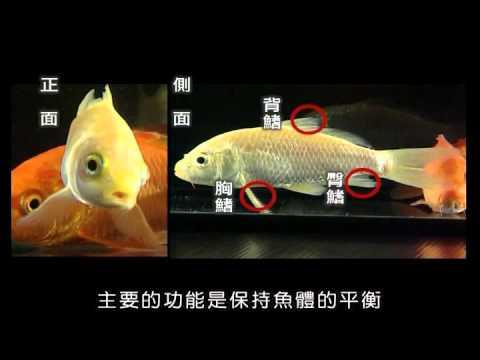 魚的外型與呼吸 - YouTube