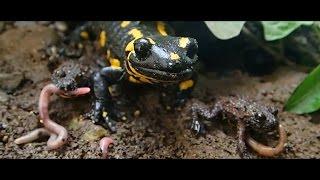 Fire Salamander and Fire-Bellied Toad Feeding      Fütterung der Feuersalamander und Rotbauchunken width=