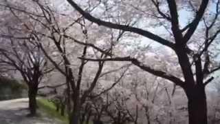 立田山の満開の桜🌸