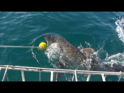 Great White Shark Gansbaai 2009 filmed from the boat
