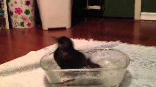 Rescued Starling Has A Bath