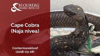 Cape Cobra rescued near Contermanskloof (20180328)