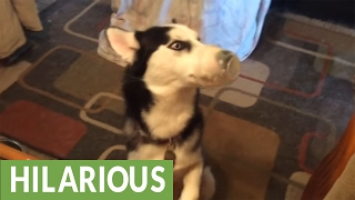 Husky gets snout stuck while eating pudding