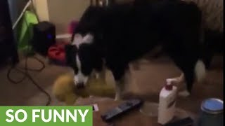 Border Collie saves stuffed animal from vacuum cleaner