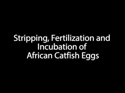 Stripping, Fertilization and Incubation of African Catfish Eggs